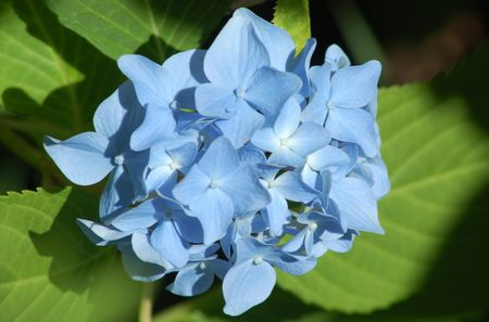 My Image Shows Nikko Blue Hydrangea This Bush Has Flowers
