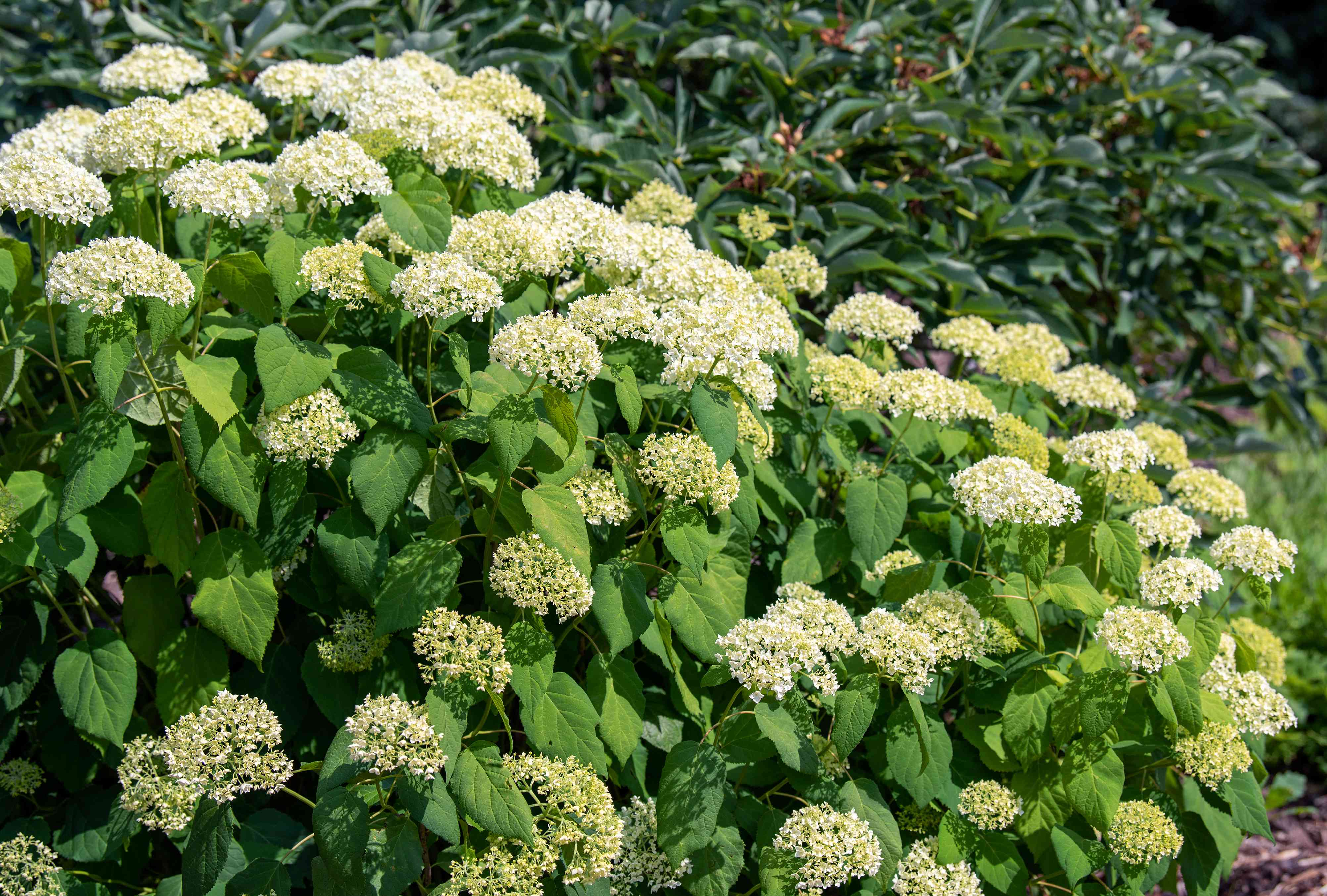 Annabelle hydrangea shrub with white and light green ball-shaped flower clusters in sunlight