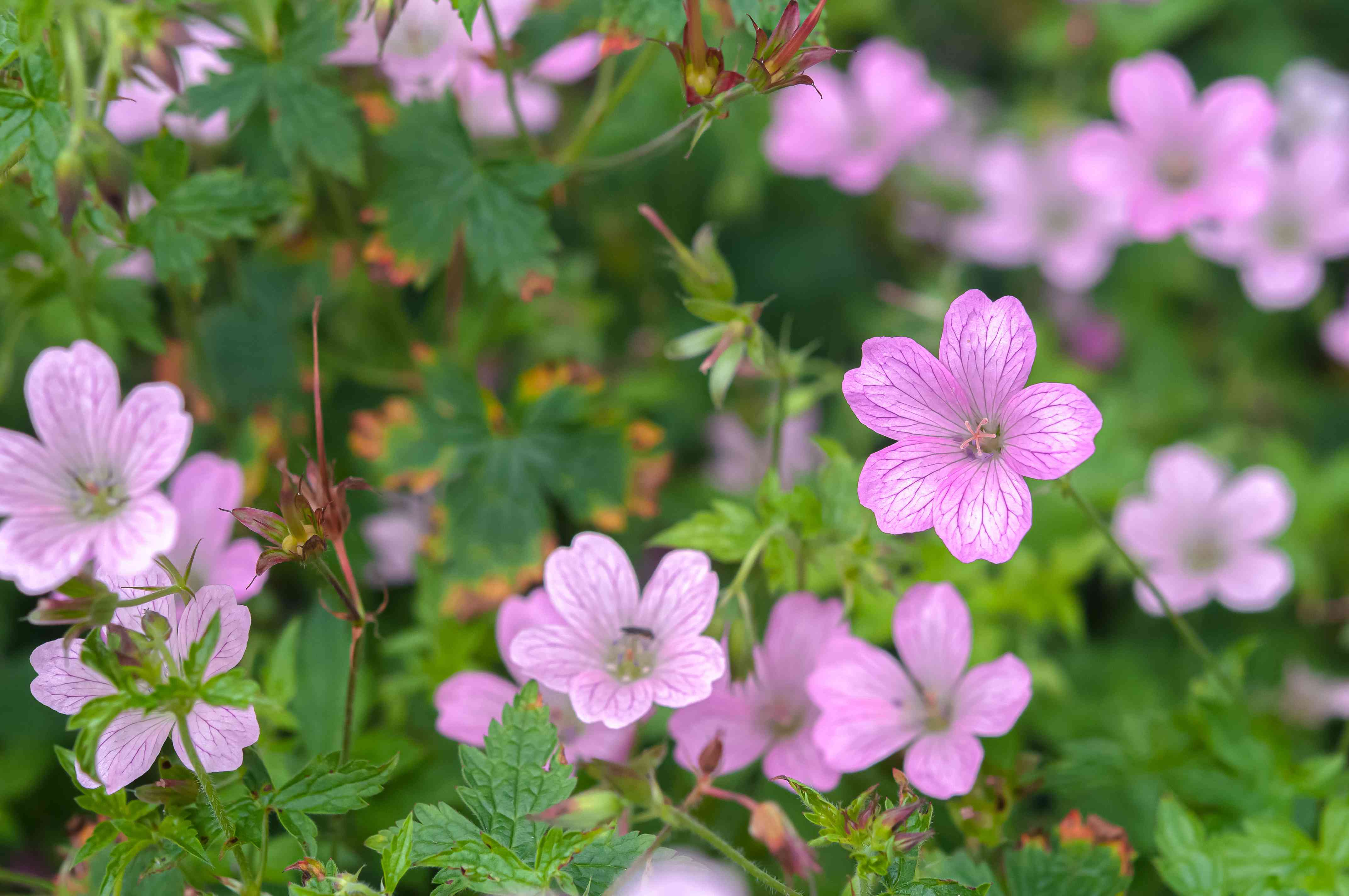 French cranesbill bush stems with small pink cup-like flowers and leaves closeup