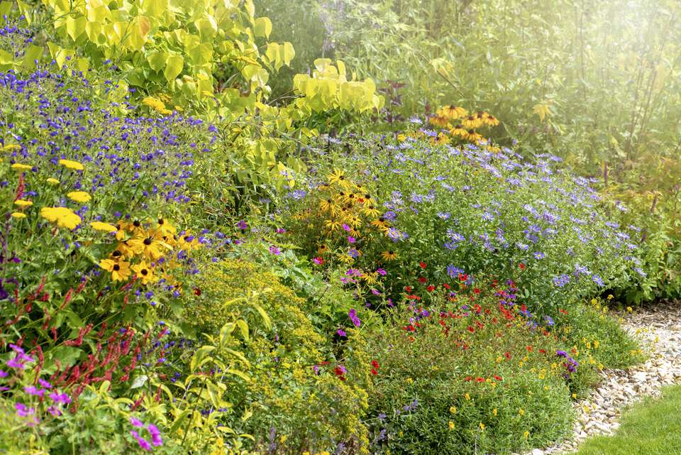 A English late Summer garden Herbaceous flower border with Rudbeckias and Michaelmas daisies