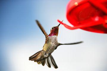 hummingbird approaching feeder