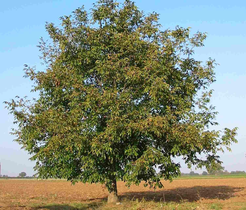 Walnut tree in a field