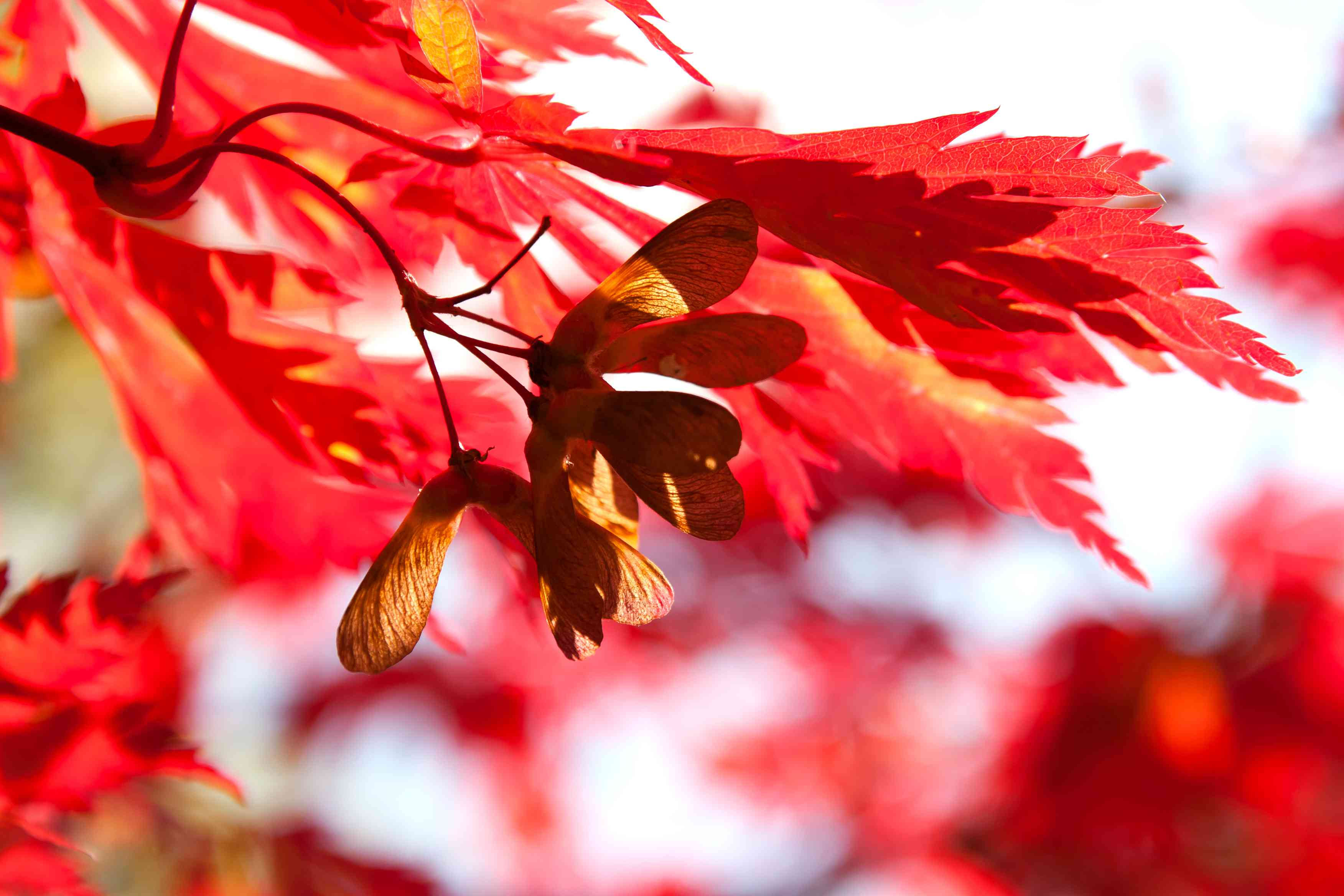 Red Maple Tree with Samara Fruit / Helicopter Seeds