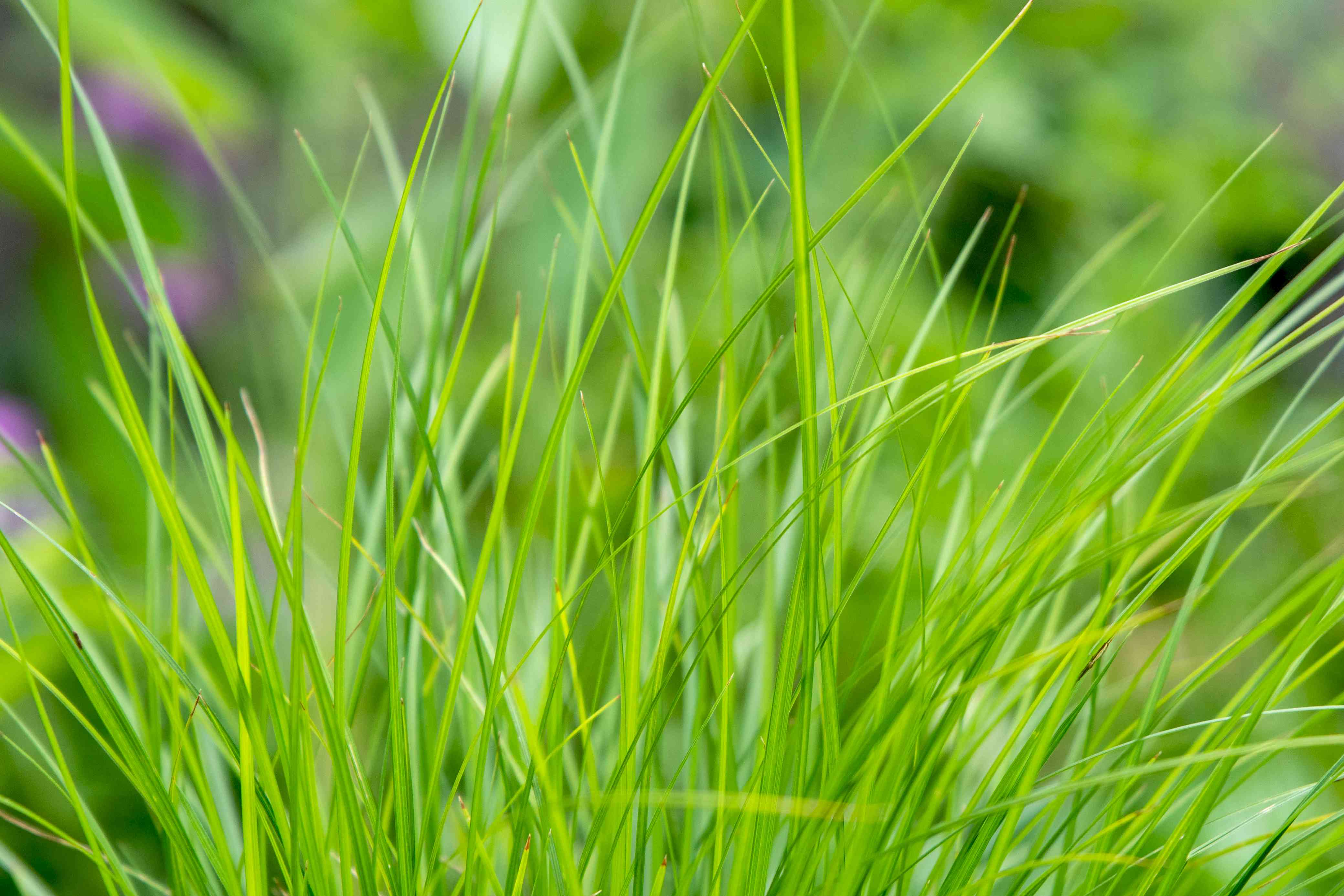 Tussock sedge with thin grass-like leaves clumped together closeup
