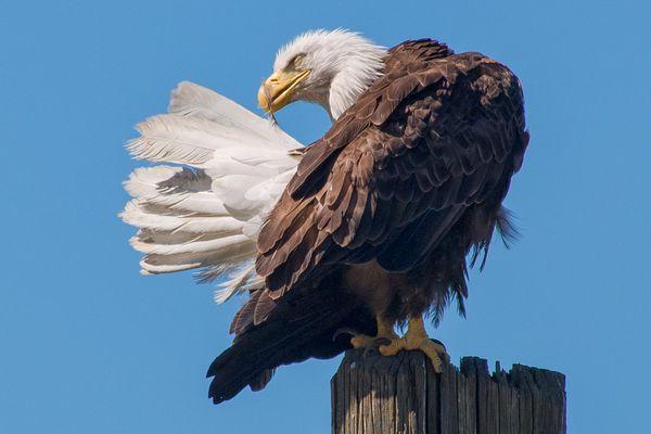 Bald Eagle Preening