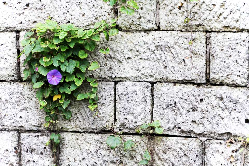purple morning glory on wall