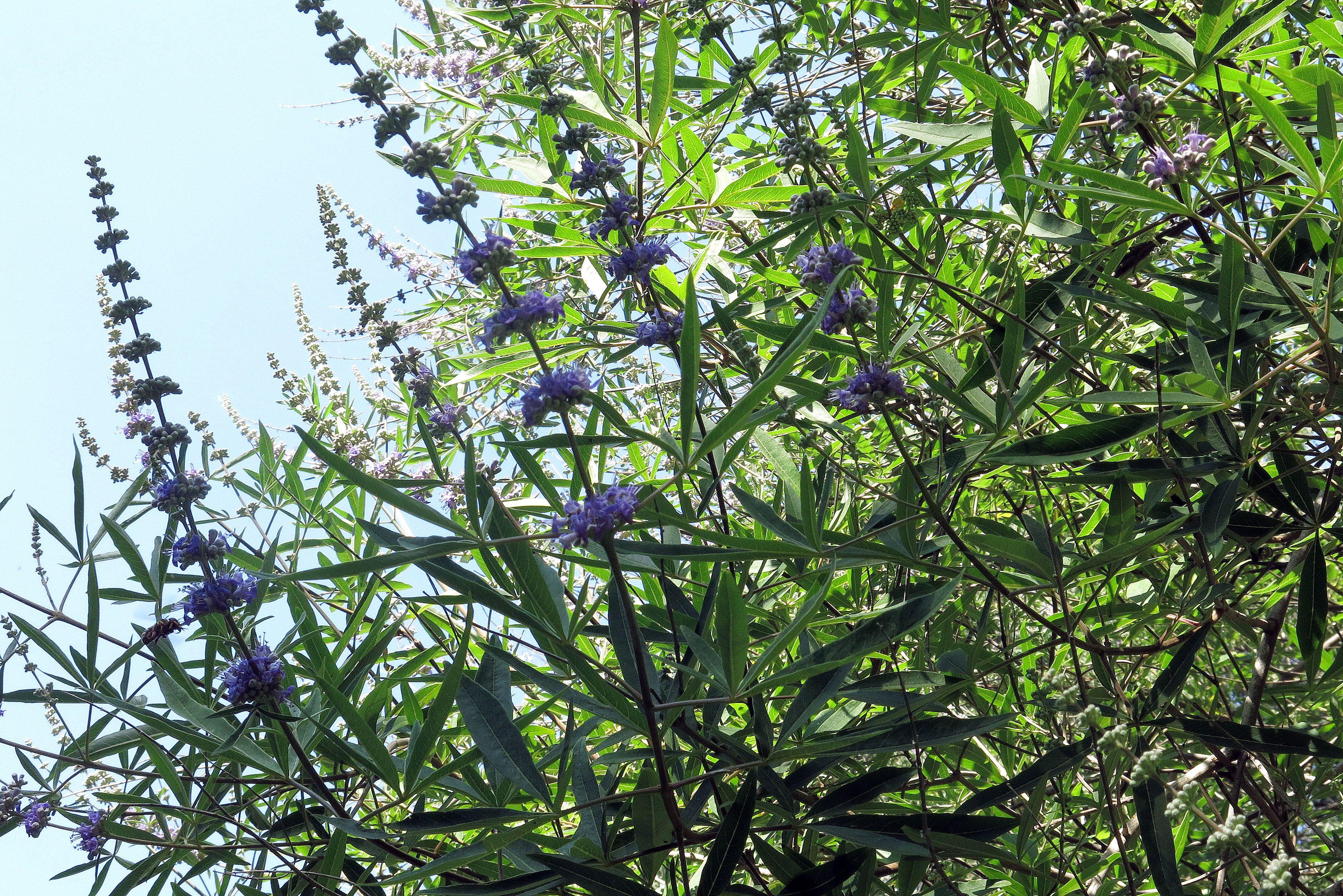 Chaste Tree (Vitex agnus-castus)