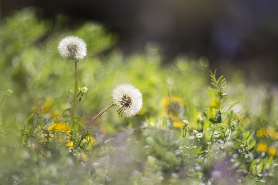 Two dandelions on meadow grassland.