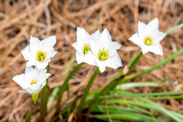 Rain lily plant with white upright petals and sepals