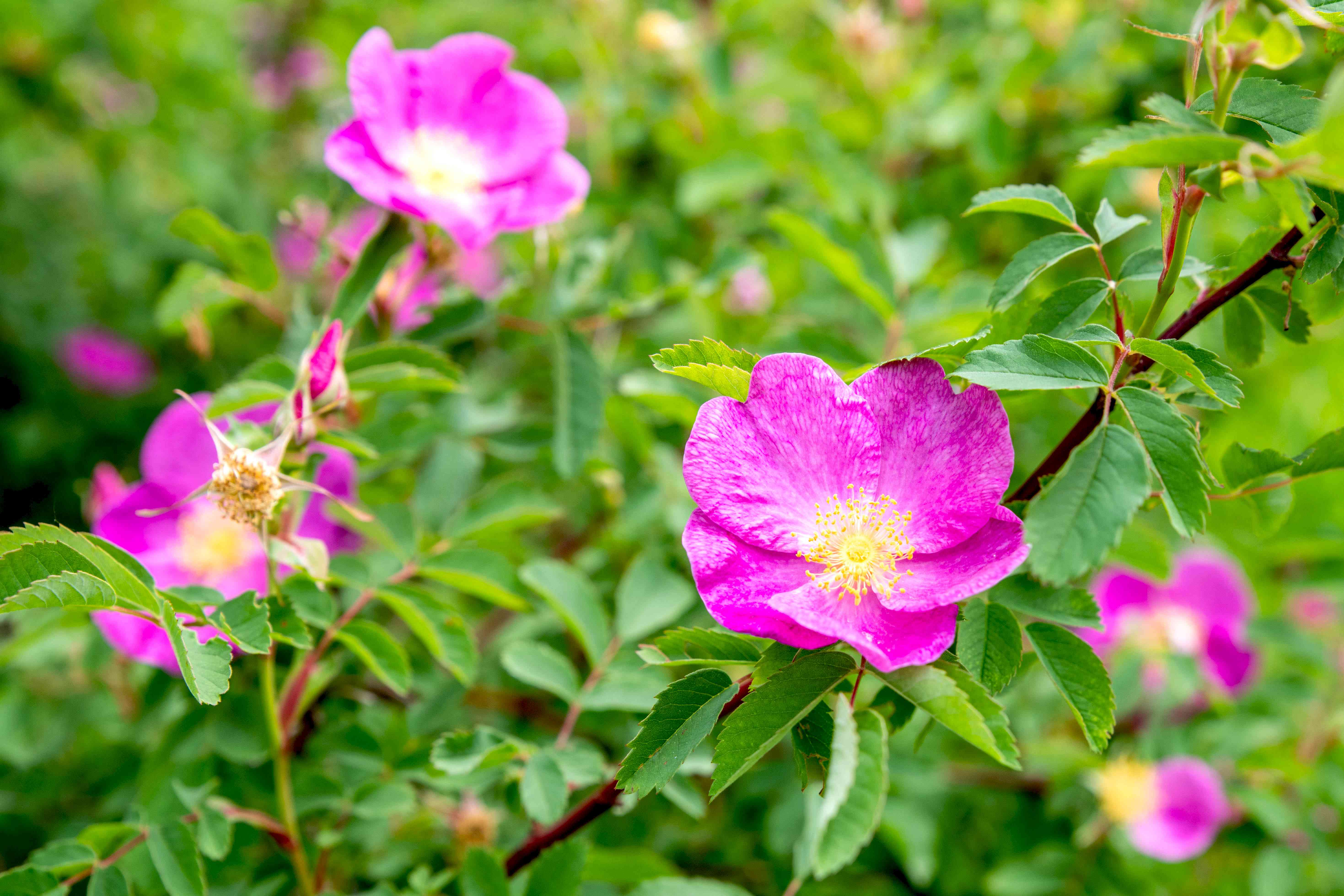 Carolina roses on shrub branch with pink flowers and yellow centers