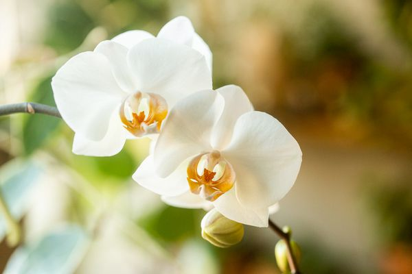 Phalaenopsis orchids with white flowers and buds