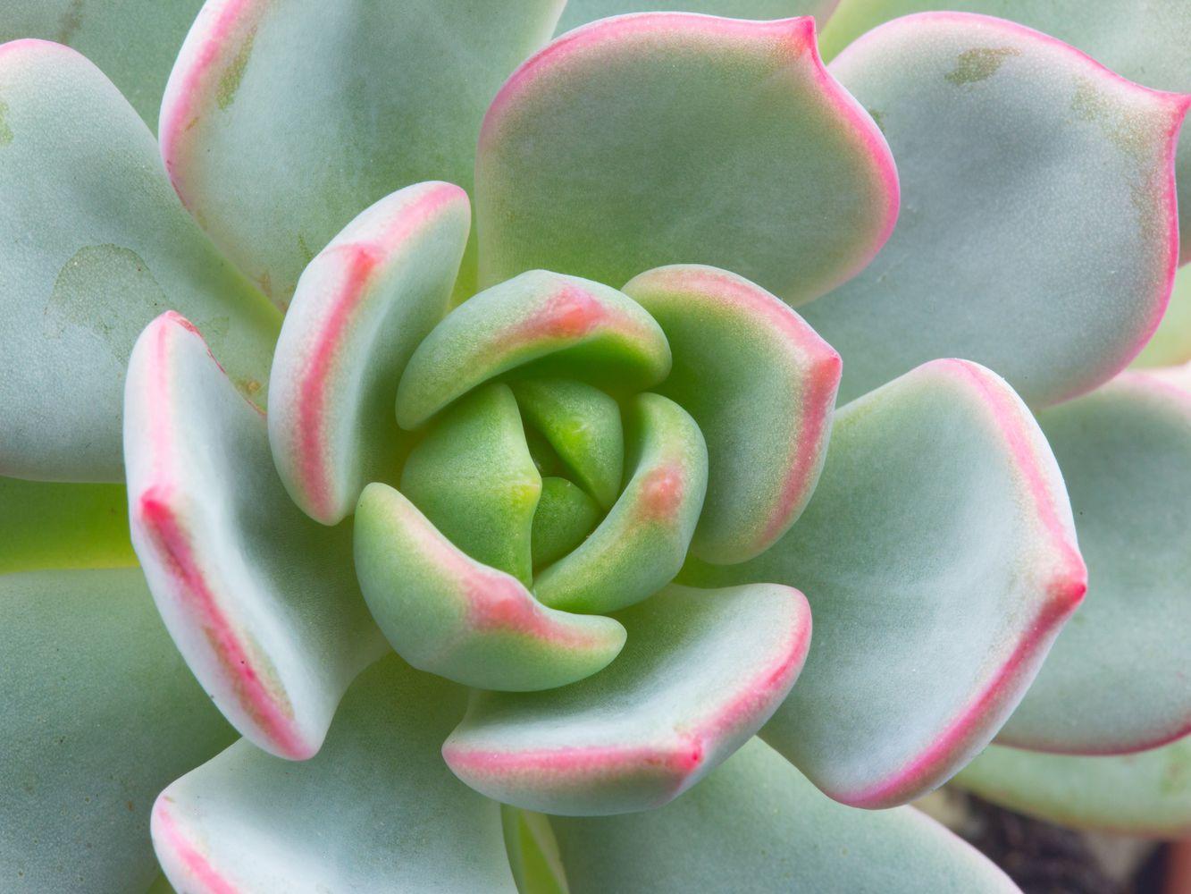 Graptoveria Topsy Debbi Lilac Spoons