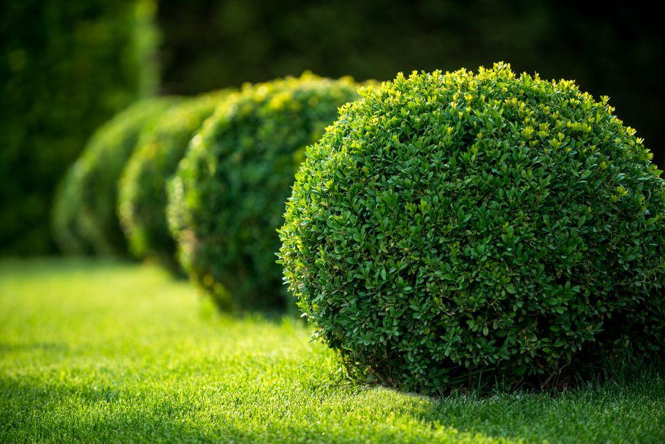boxwood bushes round shape,formal park