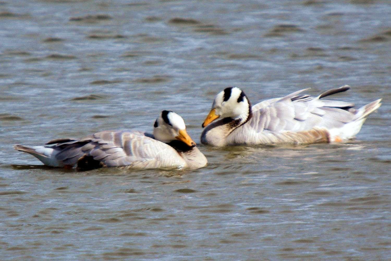 Bar-Headed Geese Asleep on the Water