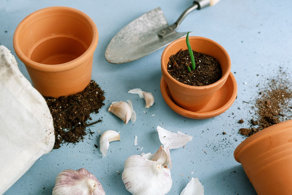 items for planting new garlic indoors