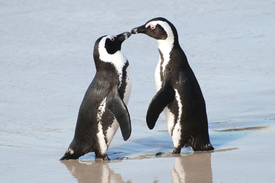 African Penguin Pair