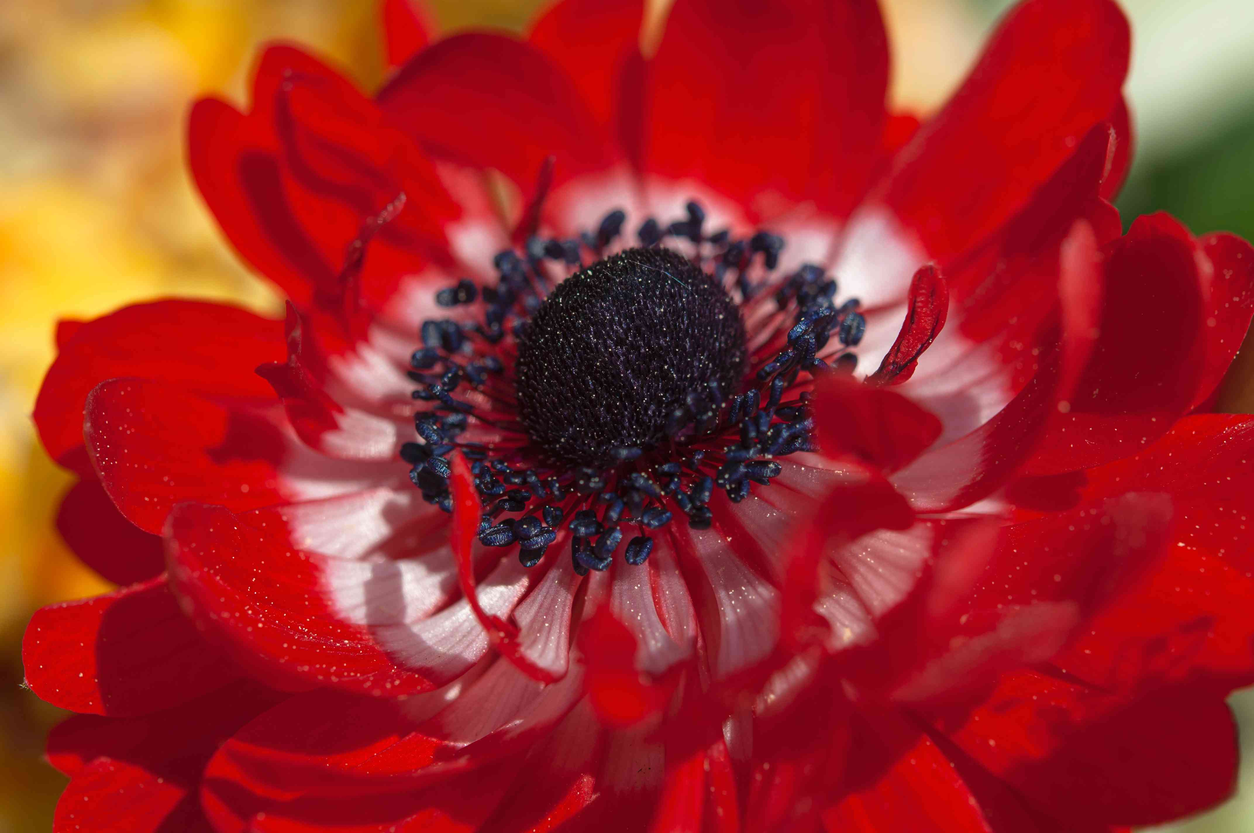 How to Grow and Care for Anemone Windflower Plants