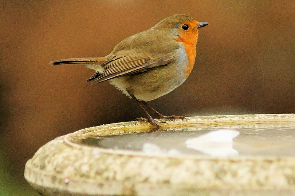 European Robin at the Bird Bath