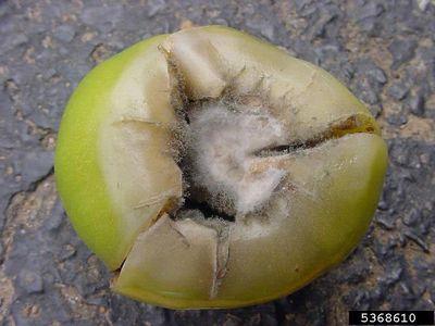 Gray Mold (Botrytis) on a Tomato