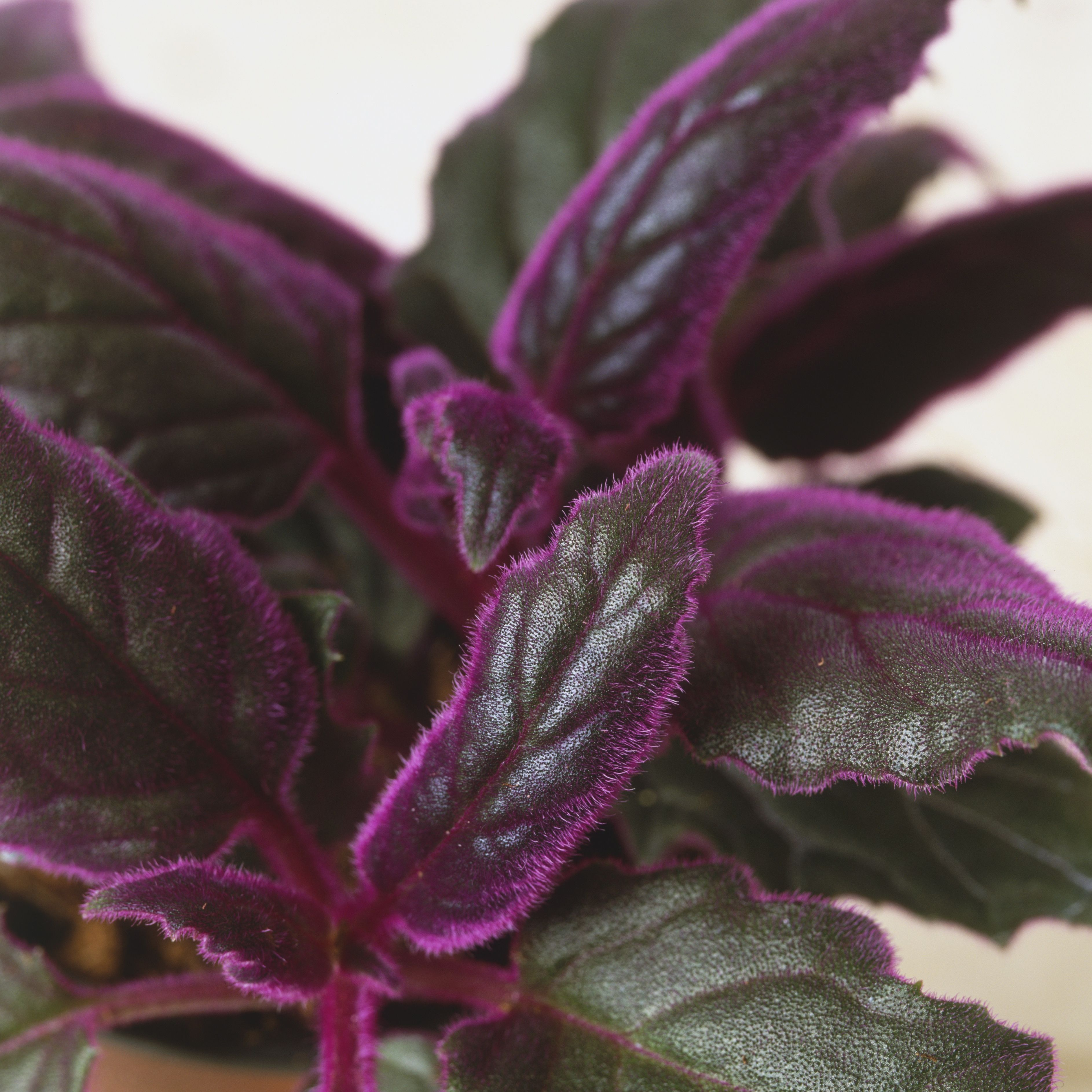 Colorful Houseplants That Aren't Hard to Grow on house plants with light green leaves, house plants with shiny leaves, house plants and their names, house with red flowers, wandering jew with fuzzy leaves, house plants with waxy red blooms, olive tree green leaves, florida plants with red leaves, tomato plants with purple leaves, house plants with small leaves, perennial plants with purple leaves, house plants with long green leaves, house plants with colorful leaves, poisonous plants with purple leaves, house plant rubber plant, house plants with bronze leaves, house plants with dark red leaves, house plant purple heart, purple house plant fuzzy leaves, purple foliage plants with leaves,