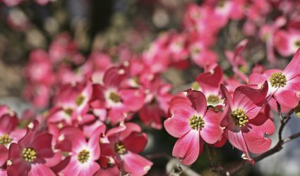 Flowering dogwood tree with red flowers.