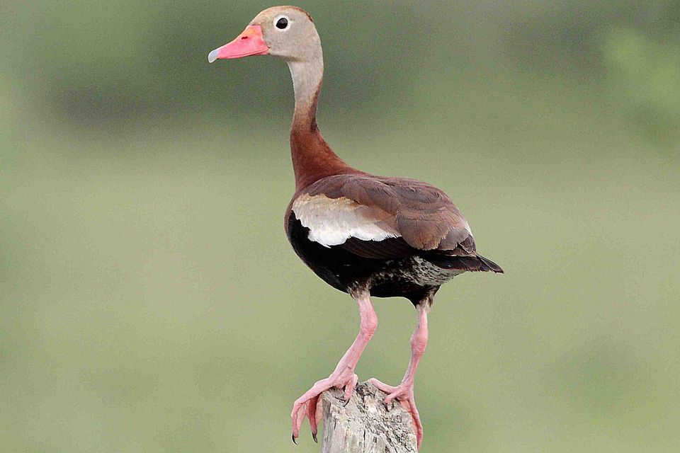 Black Bellied Whistling Duck Dendrocygna Autumnalis