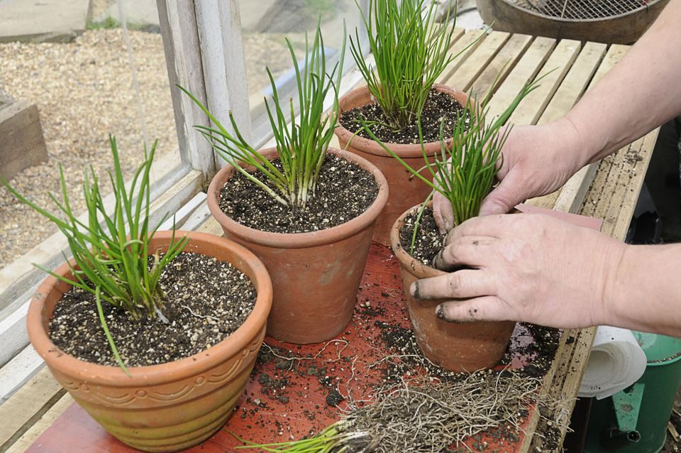 Person re potting divided clumps of chives (Allium schoenoprasum), March,