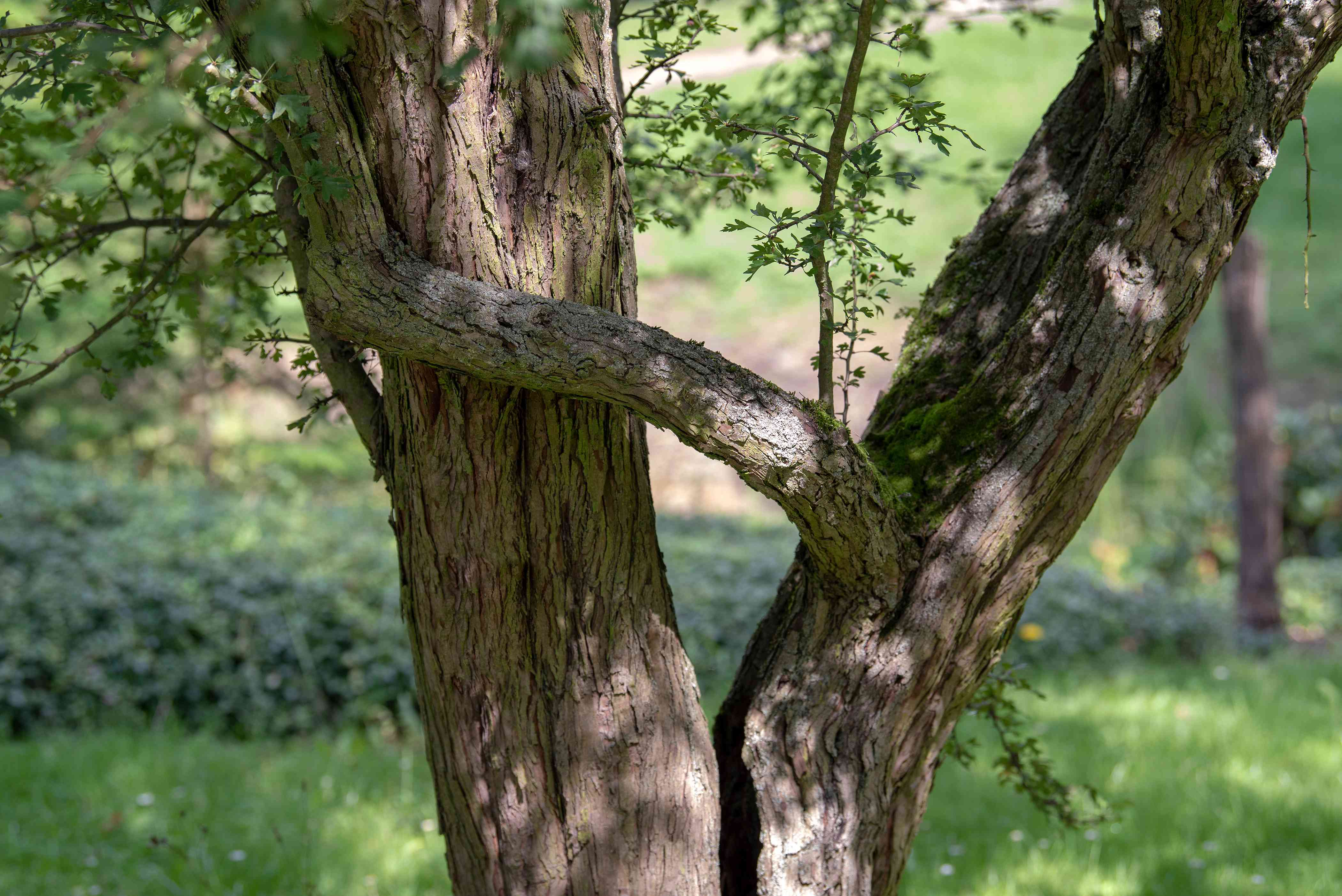 English hawthorn tree with separated trunks and ridged bark in shade