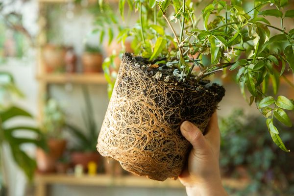 Root-bound plant being held up