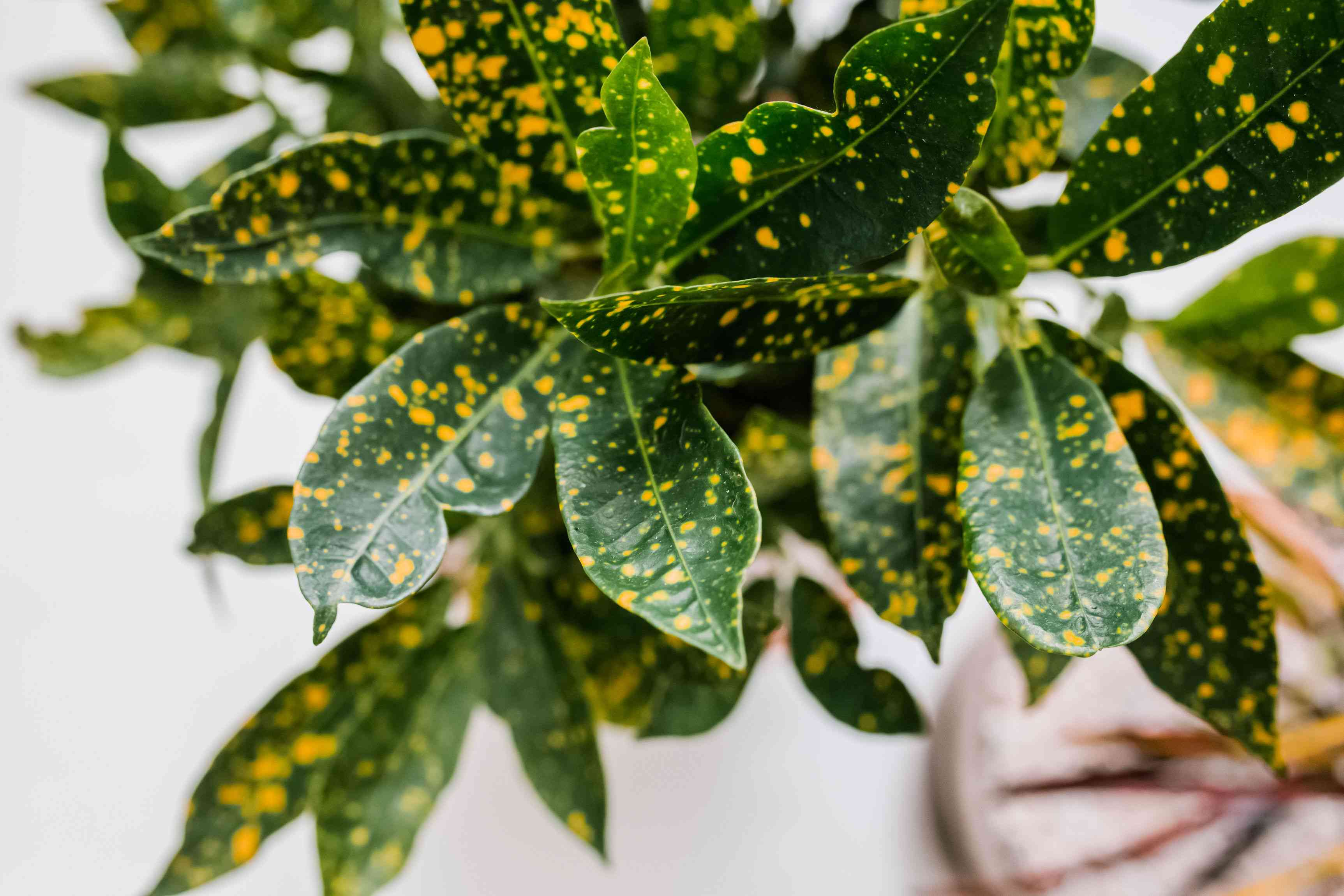Croton plant with dark green leaves and yellow spots speckled throughout closeup