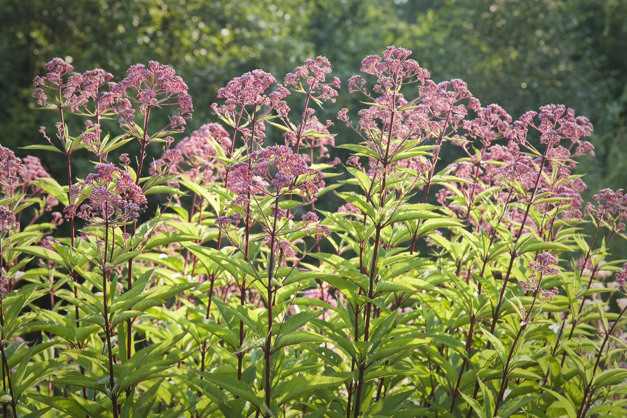Joe Pye Weed Growing A Tall Late Season Bloomer