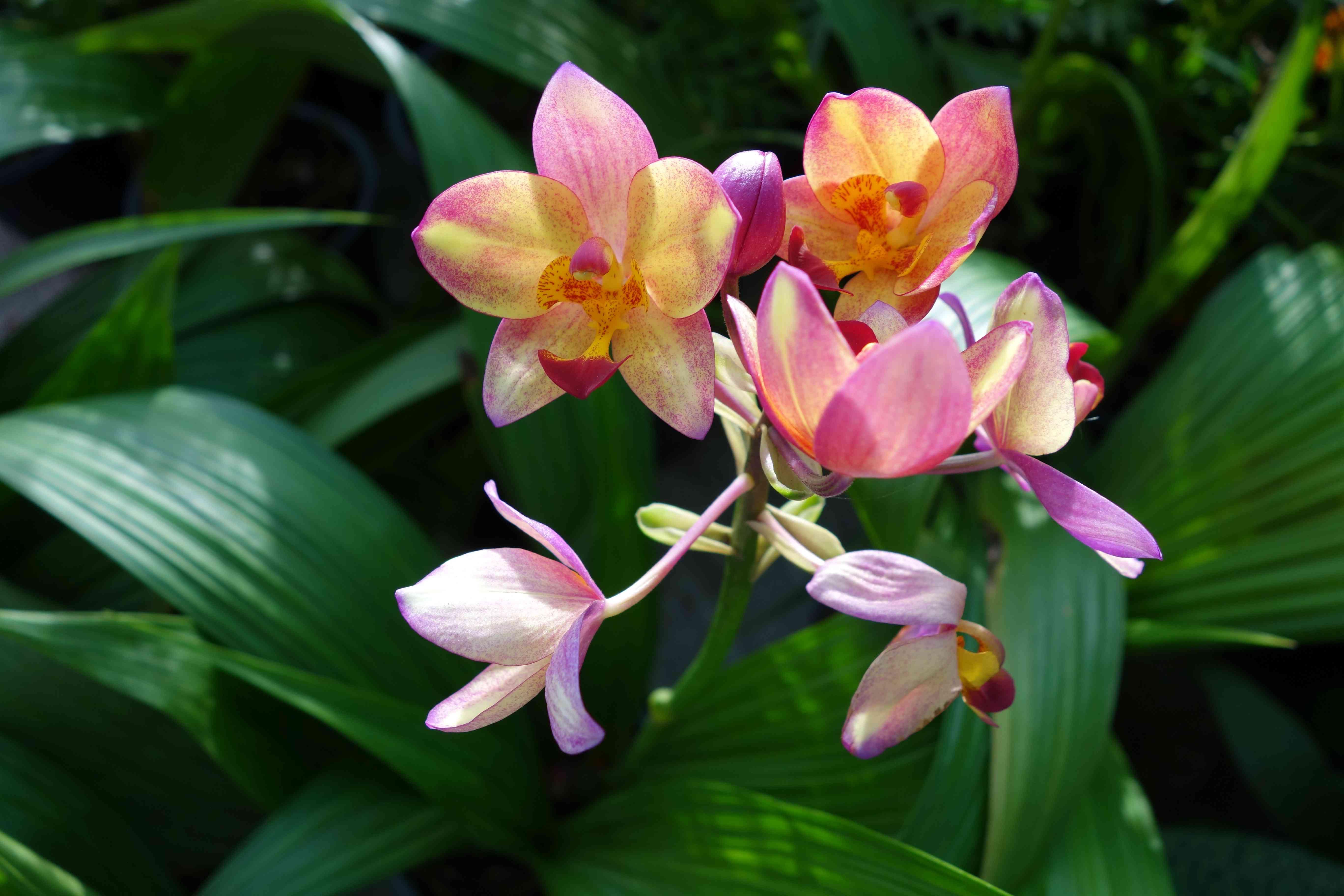 Spathoglottis Plicata orchid
