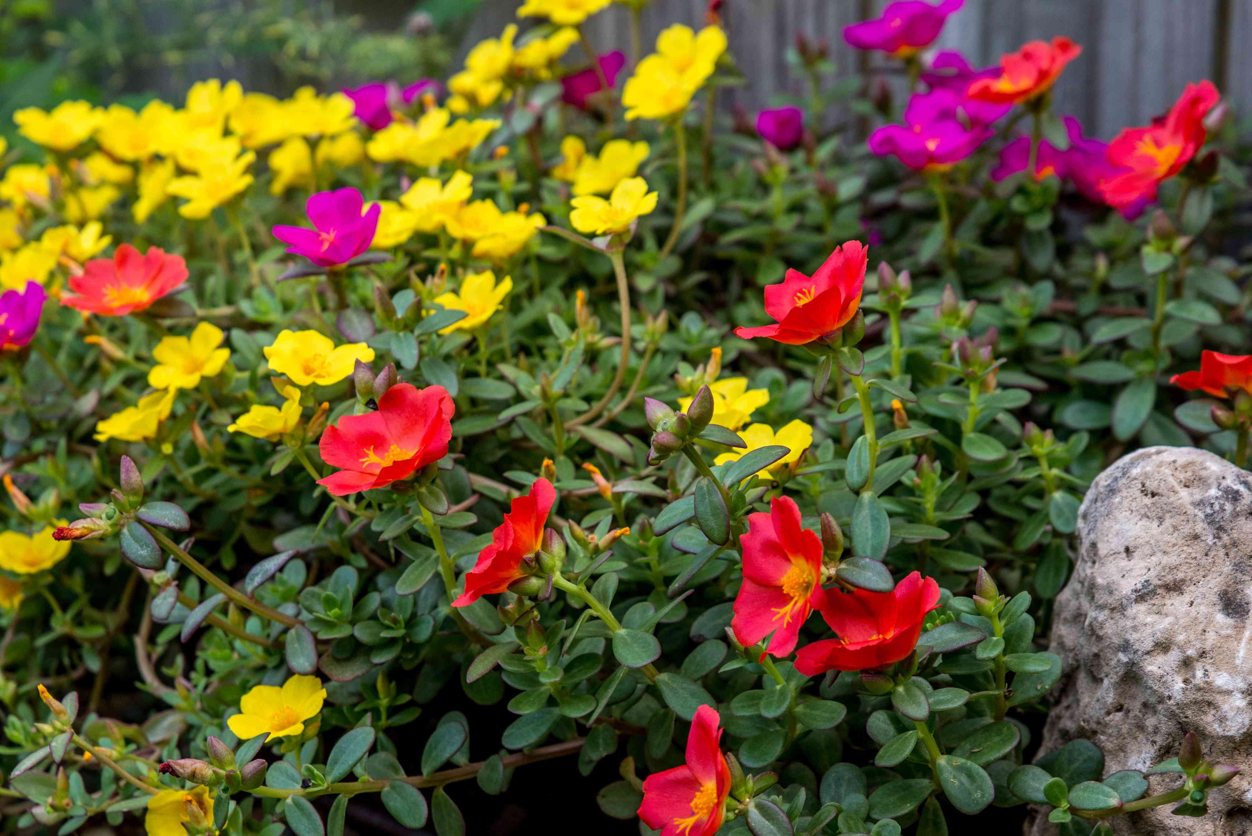 moss rose flowers