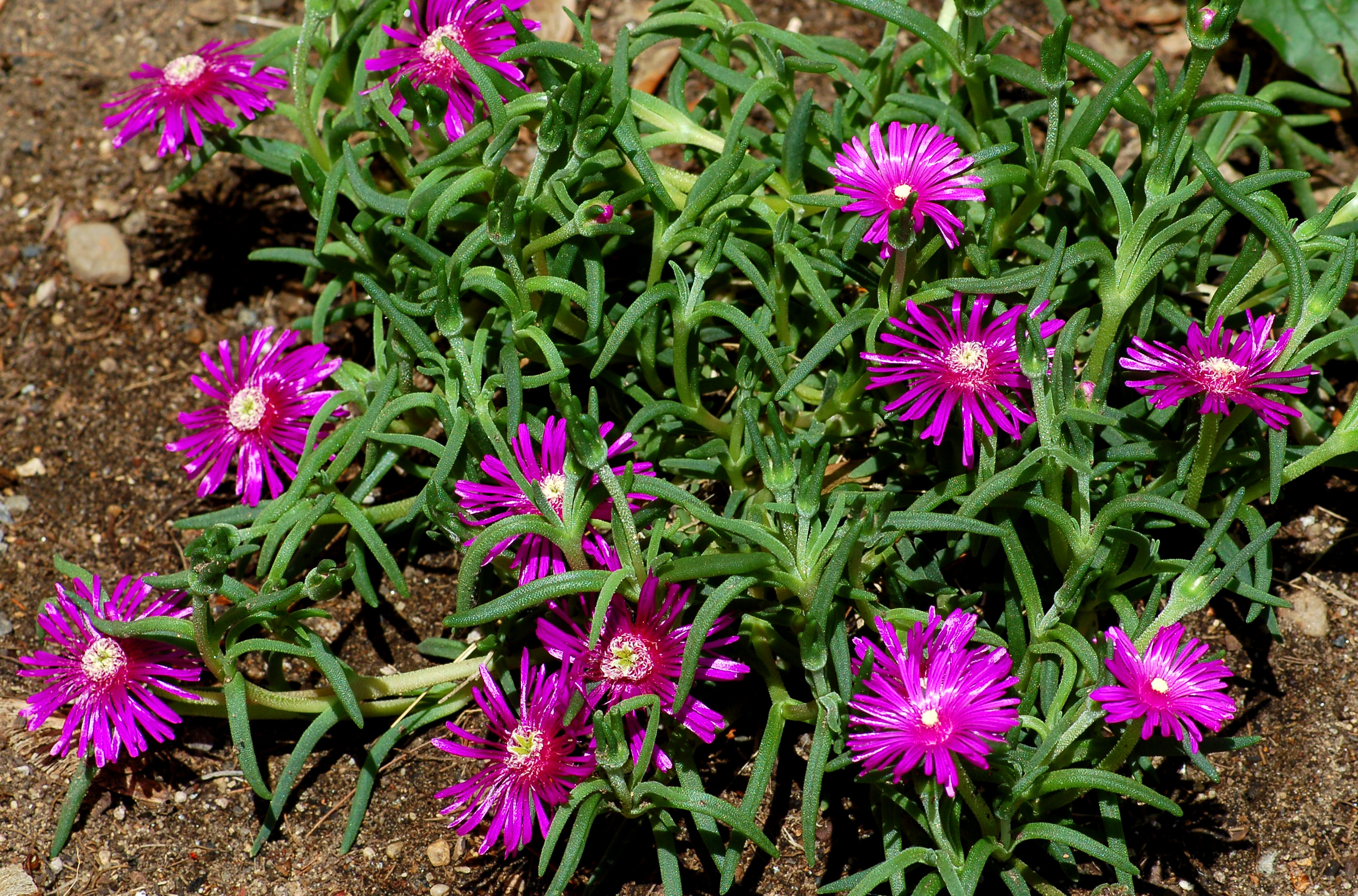 How To Grow And Care For Ice Plant