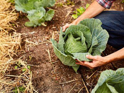 Growing Crunchy, Tender Cabbage Plants. Vegetable Garden Basics