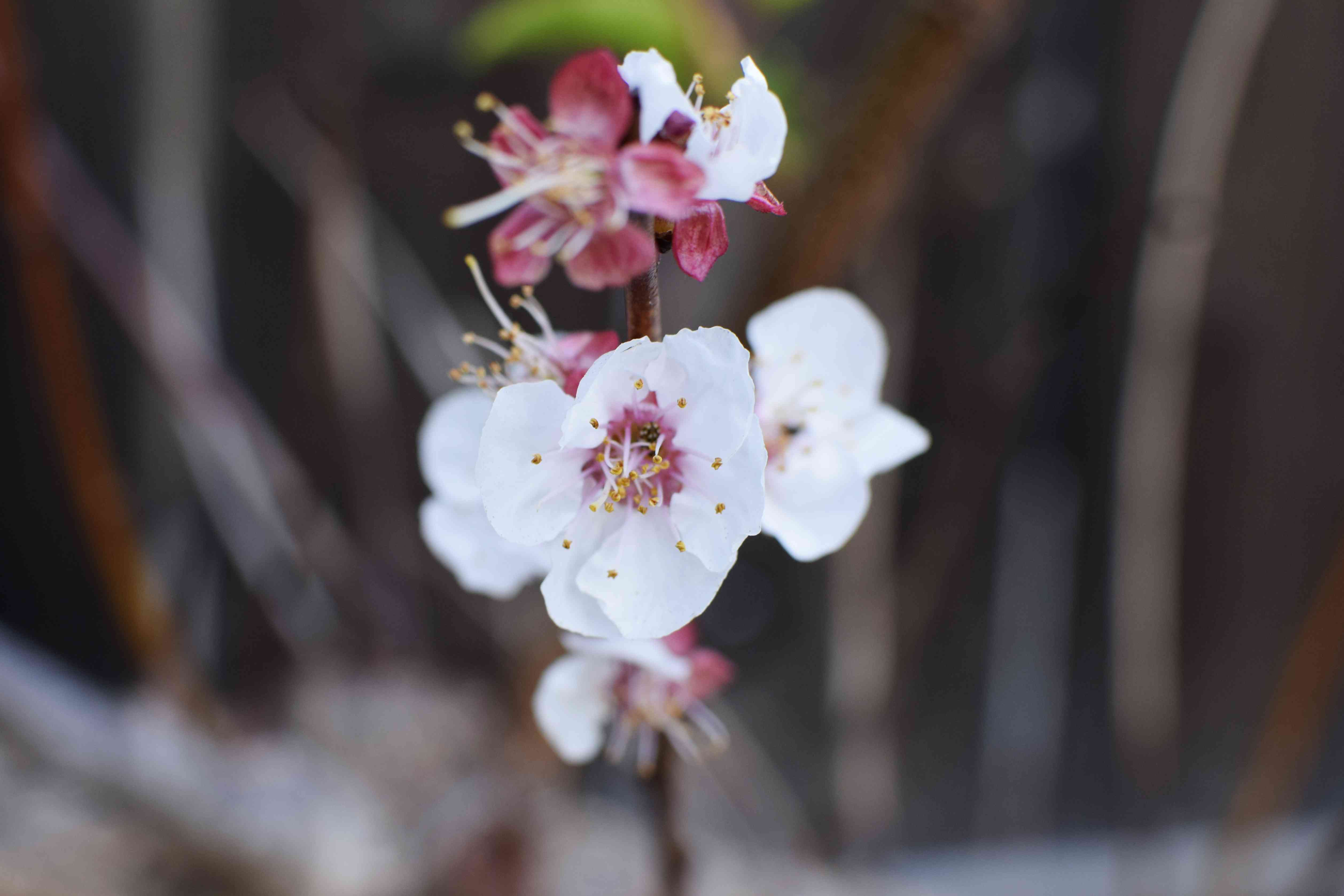 Apricot tree branch with white and pink blossoms closeup
