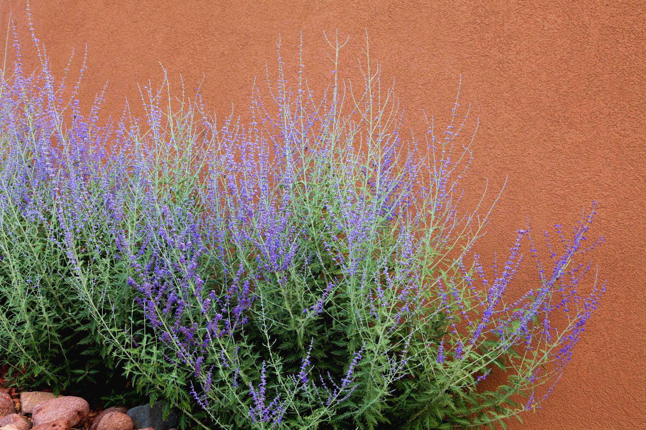 Russian Sage against terracotta wall