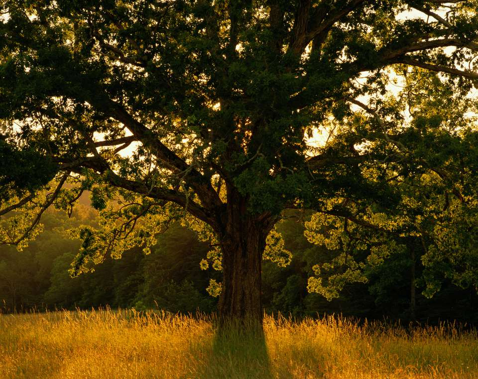 White oak tree at sunset at the edge of the woods.