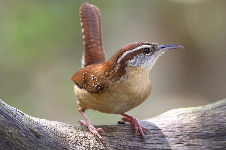 Carolina Wren, the state bird of South Carolina, on a branch.