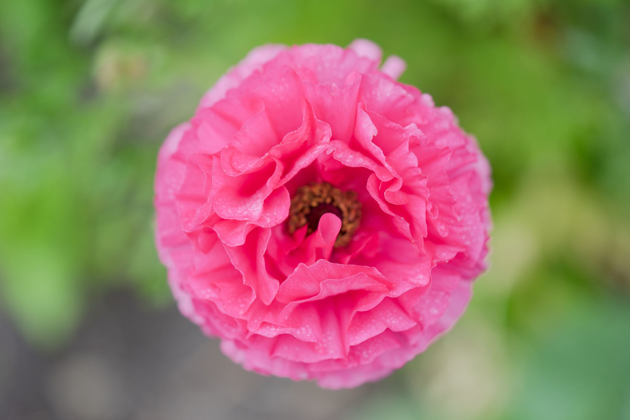 Ranunculus Amandine Rose
