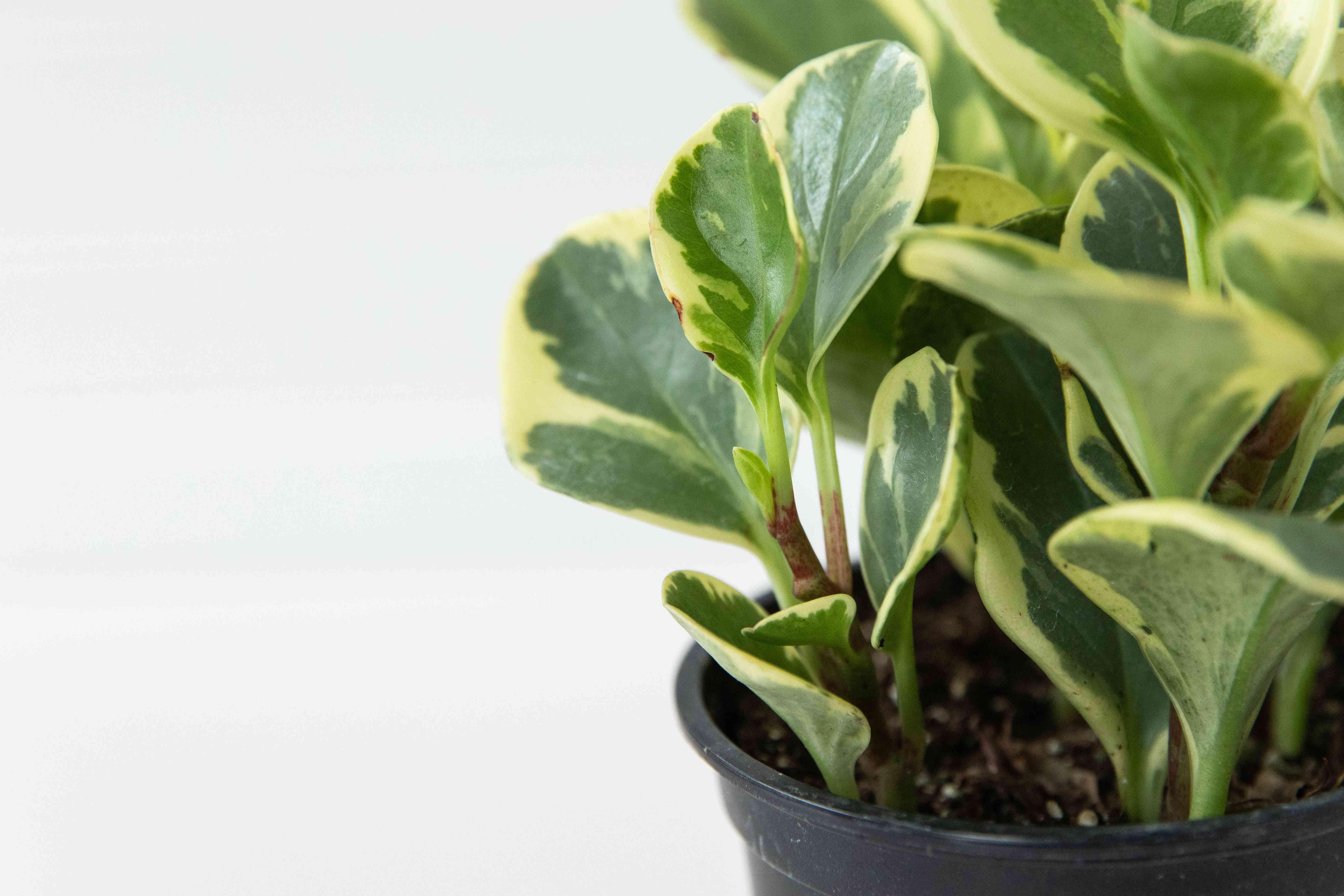 closeup of peperomia leaves