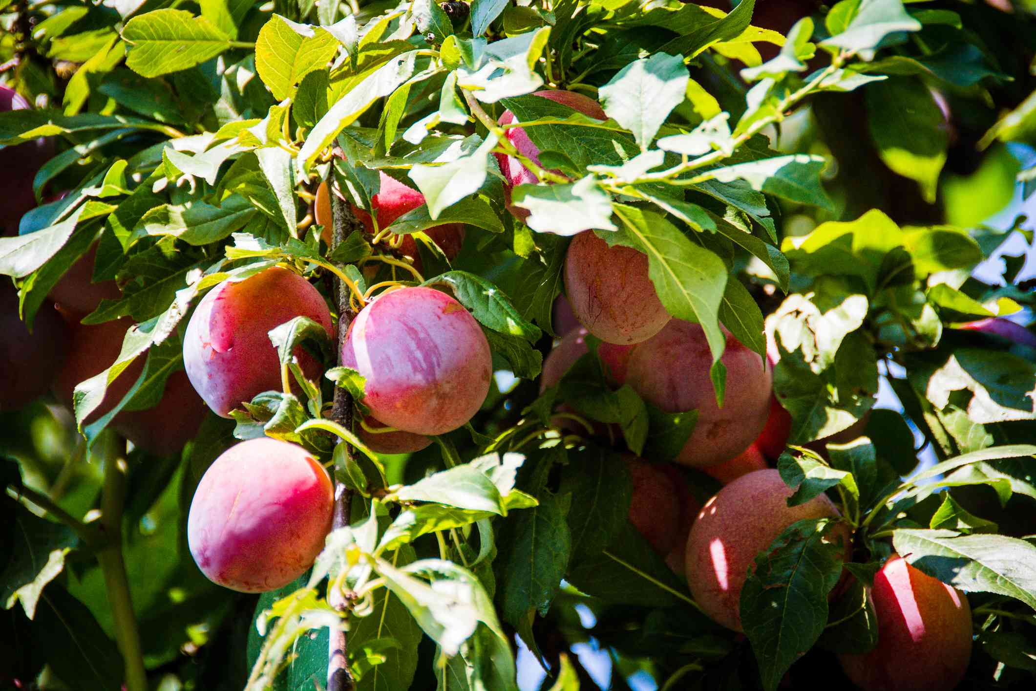 Close up of beautiful red blushed plums (pluots) on tree nearing harvest time