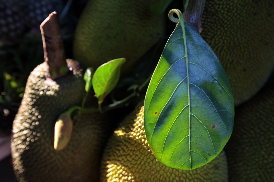 jackfruit with leaves