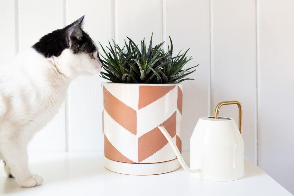 un gato olfateando una planta de haworthia