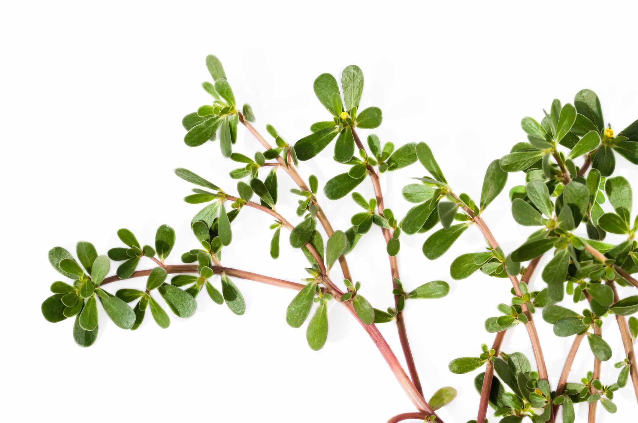 A purslane plant