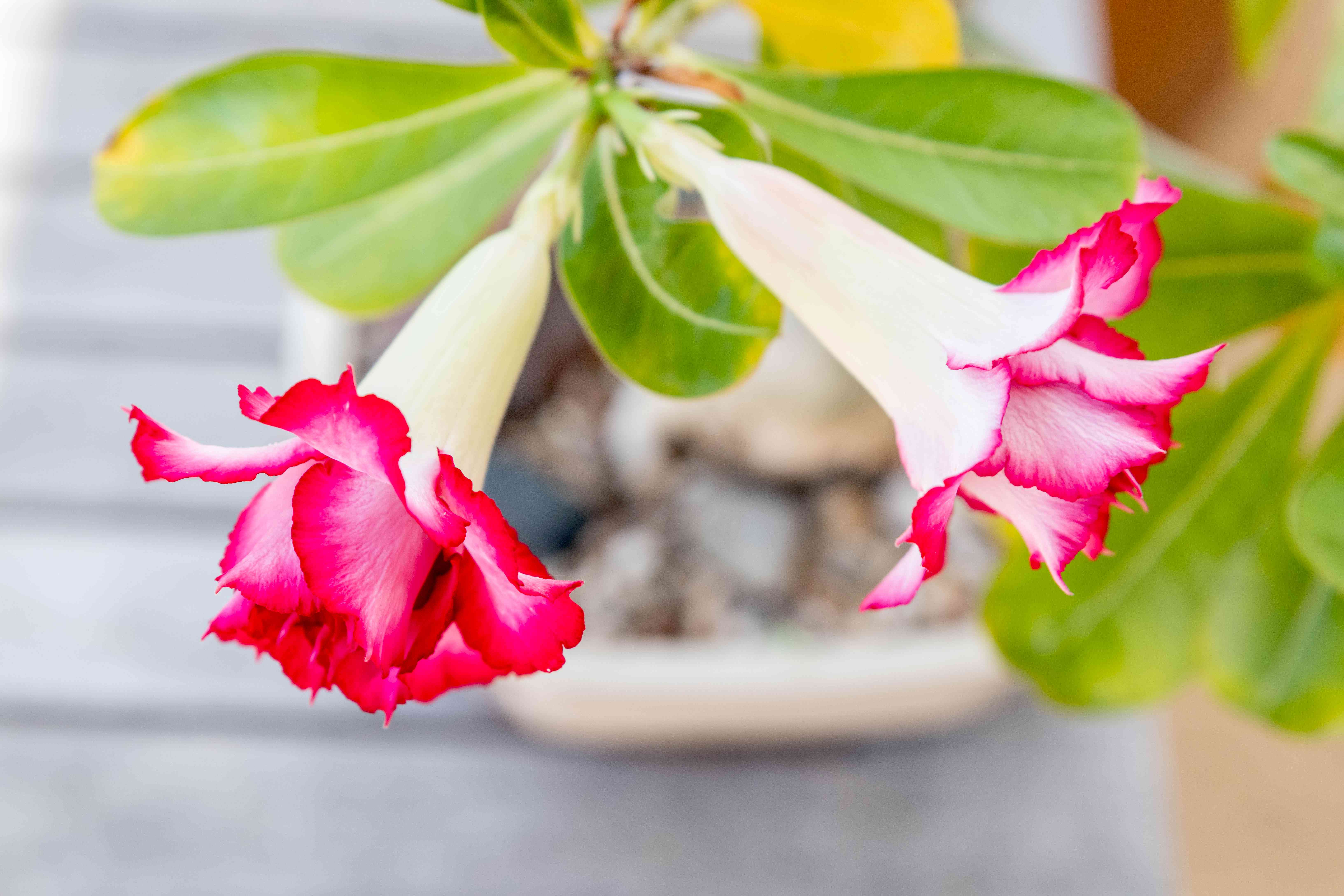 Desert rose plant with deep and light pink flowers hanging on end of stem with leaves closeup