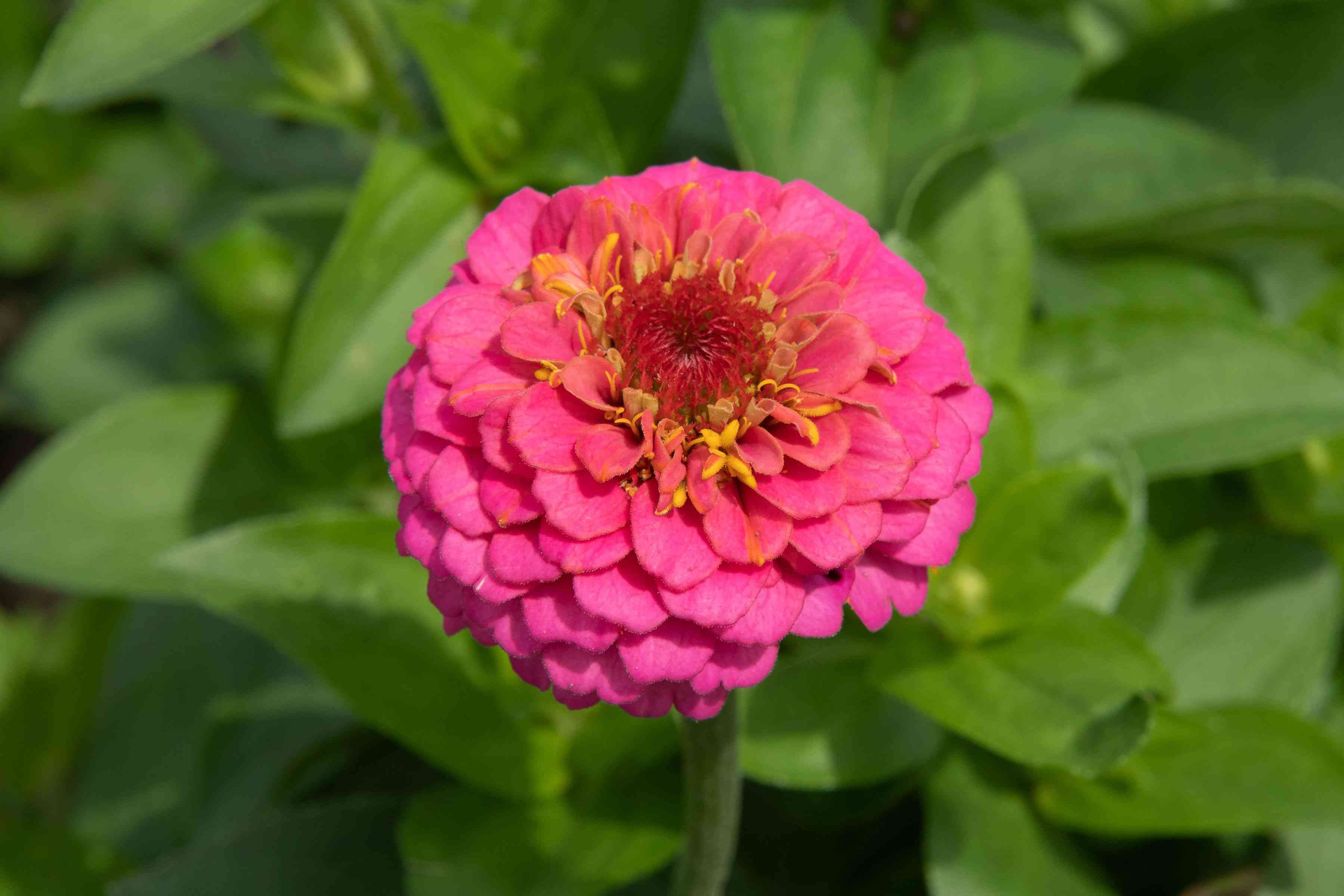 Bright pink zinnia flower with small layered petals in sunlight closeup