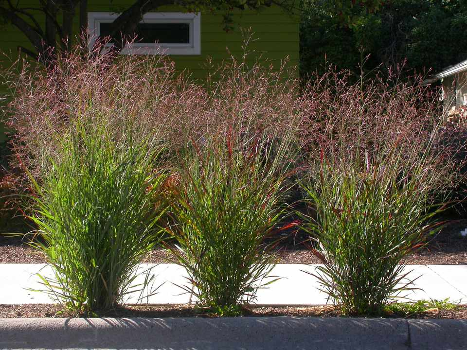 Switchgrass (Panicum virgatum) being used on a sidewalk border
