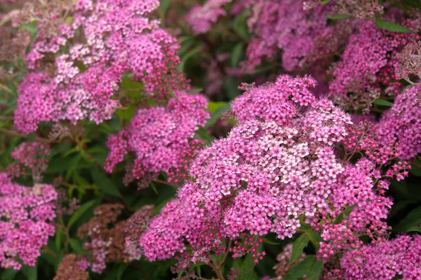 Neon flash spirea shrub with deep and light pink flower clusters