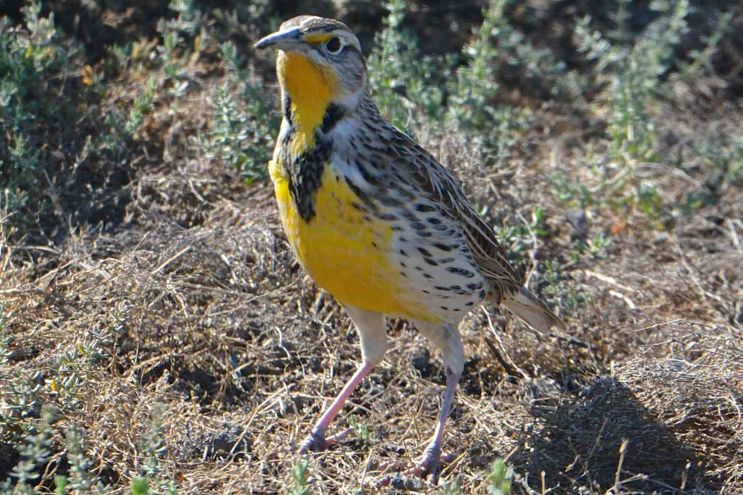 Western Meadowlark, the state bird of Wyoming, on the ground.